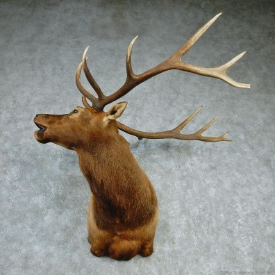 Rocky Mountain Elk Shoulder Taxidermy Head Mount #12740 For Sale @ The Taxidermy Store
