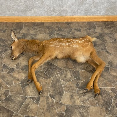 Rocky Mountain Elk Fawn Movie Prop For Sale #24846 @ The Taxidermy Store