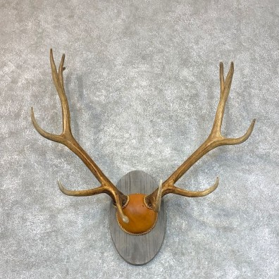 Rocky Mountain Elk Plaque Mount For Sale #22718 @ The Taxidermy Store
