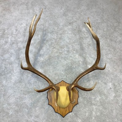 Rocky Mountain Elk Plaque Mount For Sale #23103 @ The Taxidermy Store