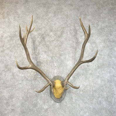 Rocky Mountain Elk Plaque Mount For Sale #24635 @ The Taxidermy Store