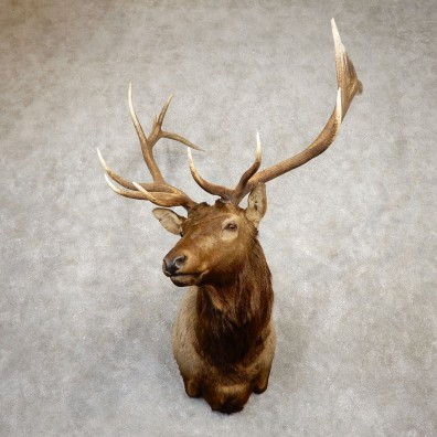 Rocky Mountain Elk Shoulder Mount For Sale #19934 @ The Taxidermy Store