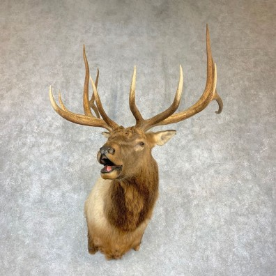 Rocky Mountain Elk Shoulder Mount For Sale #23147 @ The Taxidermy Store