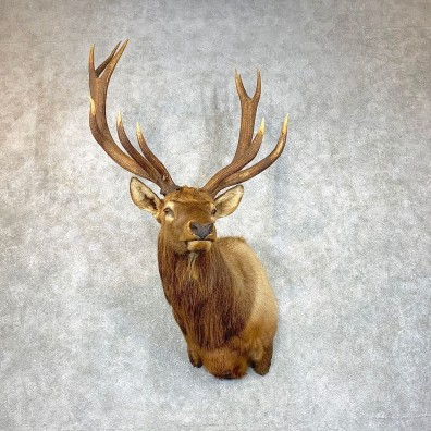 Rocky Mountain Elk Shoulder Mount For Sale #23796 @ The Taxidermy Store