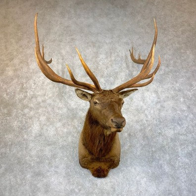 Rocky Mountain Elk Shoulder Mount For Sale #23877 @ The Taxidermy Store