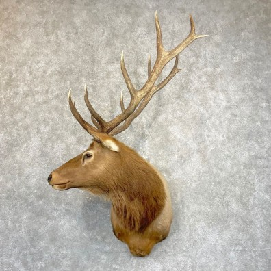 Rocky Mountain Elk Shoulder Mount For Sale #24936 @ The Taxidermy Store