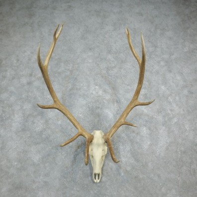 Rocky Mountain Elk Skull European Mount For Sale #18328 @ The Taxidermy Store