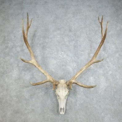 Rocky Mountain Elk Skull European Mount For Sale #18382 @ The Taxidermy Store