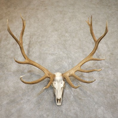 Rocky Mountain Elk Skull European Mount For Sale #19557 @ The Taxidermy Store