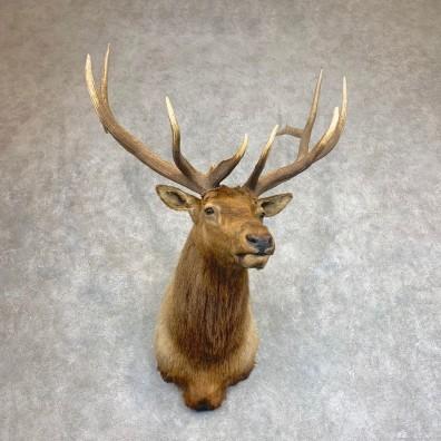 Roosevelt Elk Shoulder Mount For Sale #21930 @ The Taxidermy Store