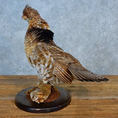 Ruffed Grouse Bird Mount For Sale #24004 @ The Taxidermy Store