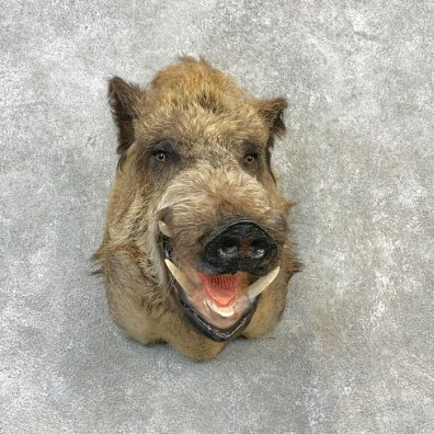 Russian Boar Shoulder Mount For Sale #23115 @ The Taxidermy Store
