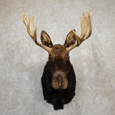 Shiras Moose Shoulder Taxidermy Mount #19937 For Sale @ The Taxidermy Store