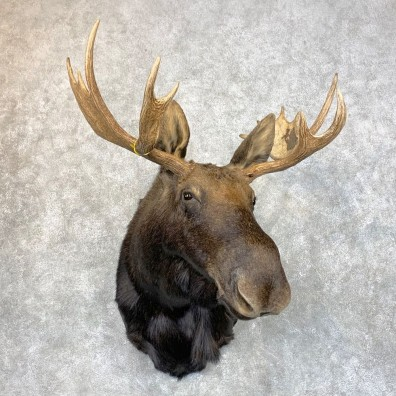 Shiras Moose Shoulder Taxidermy Mount #23956 For Sale @ The Taxidermy Store