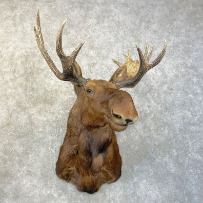 Shiras Moose Shoulder Taxidermy Mount #25144 For Sale @ The Taxidermy Store