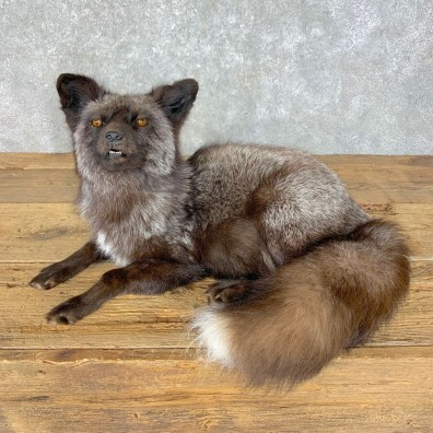 Silver Fox Life-Size Mount For Sale #23631 @ The Taxidermy Store