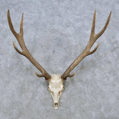 Sika Deer Skull Antler European Mount For Sale #14550 @ The Taxidermy Store
