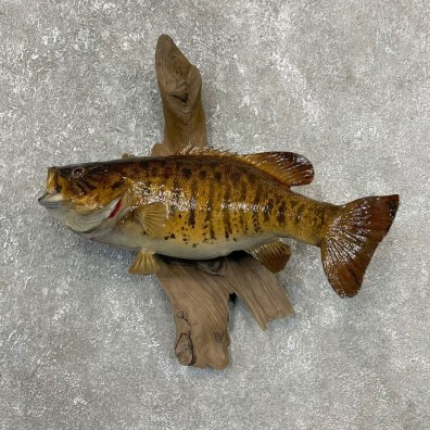 Smallmouth Bass Fish Mount For Sale #24169 @ The Taxidermy Store