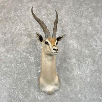 Southern Grant's Gazelle Shoulder Mount #24949 For Sale @ The Taxidermy Store