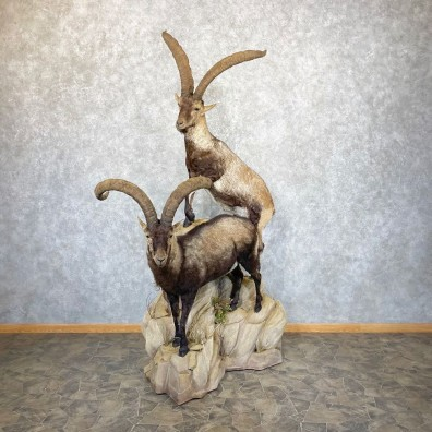 Spanish Ibex Life-Size Taxidermy Mount #24965 For Sale @ The Taxidermy Store