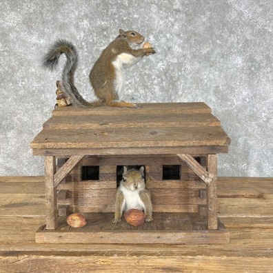 Squirrel Novelty Mount For Sale #25458 @ The Taxidermy Store
