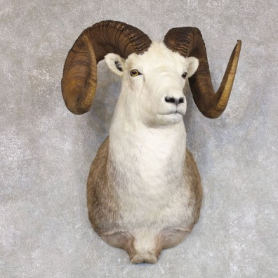 Stone Sheep Shoulder Mount For Sale #22242 @ The Taxidermy Store