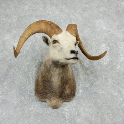 Stone Sheep Shoulder Mount For Sale #17927 @ The Taxidermy Store