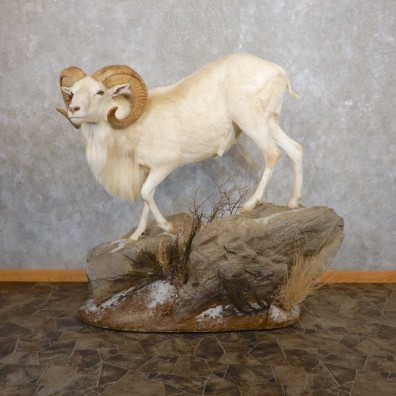 Texas Dall Life-Size Taxidermy Mount #21593 For Sale @ The Taxidermy Store