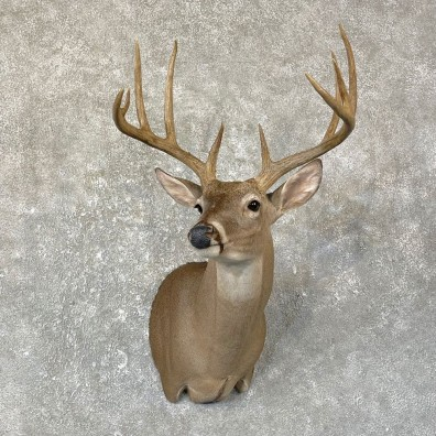 Texas Whitetail Deer Shoulder Mount For Sale #25132 @ The Taxidermy Store