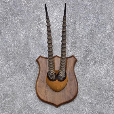 African Thomson's Gazelle Horn Taxidermy Plaque #10274 For Sale @ The Taxidermy Store