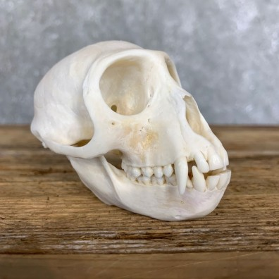 Vervet Monkey Full Skull Mount For Sale #21796 @ The Taxidermy Store