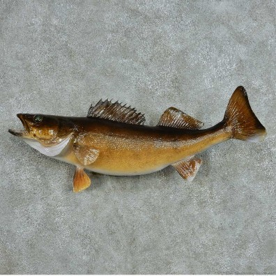 Walleye Life-Size Mount #13534 For Sale @ The Taxidermy Store