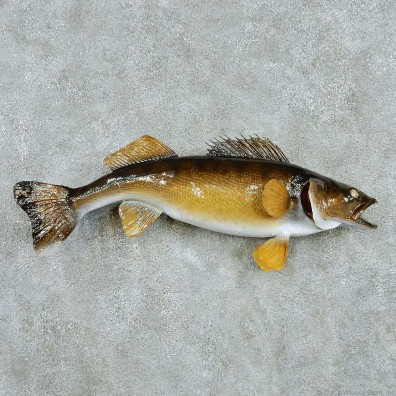 Walleye Life Size Freshwater Fish Mount #13537 For Sale @ The Taxidermy Store