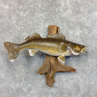 Walleye Taxidermy Fish Mount #23551 For Sale @ The Taxidermy Store