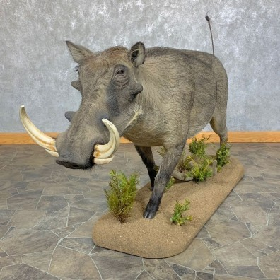 Warthog Life-Size Taxidermy Mount For Sale #23657 @ The Taxidermy Store