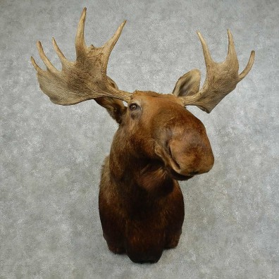 Western Canada Moose Shoulder Mount For Sale #16754 @ The Taxidermy Store