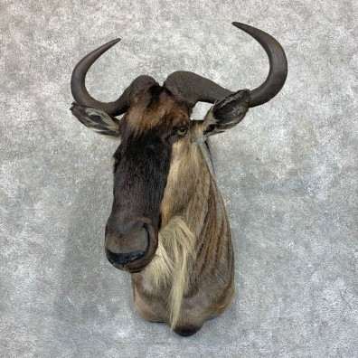 White-Bearded Wildebeest Shoulder Mount For Sale #23584 @ The Taxidermy Store