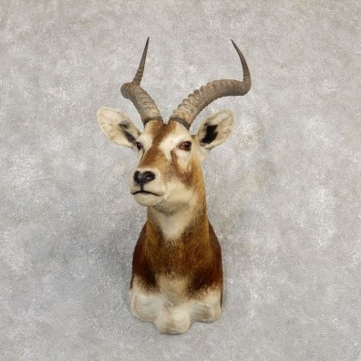 White-Eared Kob Taxidermy Shoulder Mount For Sale #20290 @ The Taxidermy Store