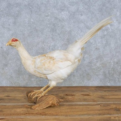 White Pheasant Mount For Sale #14838 @ The Taxidermy Store