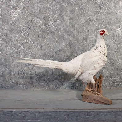 White Pheasant Mount #11486 - For Sale - The Taxidermy Store