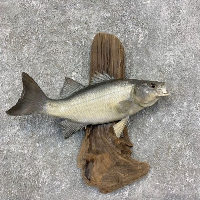 White Bass Taxidermy Fish Mount For Sale #21420 @ The Taxidermy Store