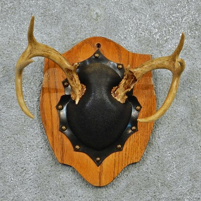 Whitetail Deer Antlers Plaque Taxidermy Mount #12976 For Sale @ The Taxidermy Store
