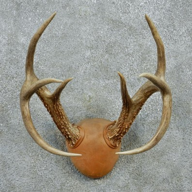 Whitetail Deer Antlers Taxidermy Mount #12981 For Sale @ The Taxidermy Store