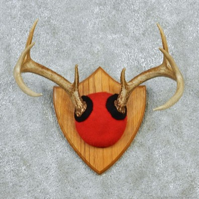 Whitetail Deer Antlers Taxidermy Mount #12880 For Sale @ The Taxidermy Store