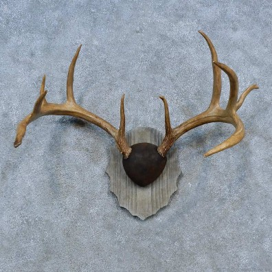 Whitetail Deer Antler Plaque Mount For Sale #15305 @ The Taxidermy Store