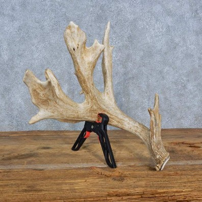Whitetail Deer Antler Shed For Sale #15441 @ The Taxidermy Store