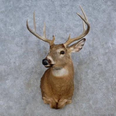Whitetail Deer Shoulder Mount For Sale #15249 @ The Taxidermy Store