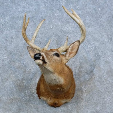 Whitetail Deer Shoulder Mount For Sale #15329 @ The Taxidermy Store