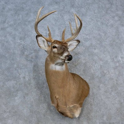 Whitetail Deer Shoulder Mount For Sale #15589 @ The Taxidermy Store