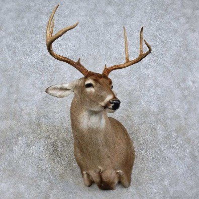 Whitetail Deer Shoulder Mount For Sale #15810 @ The Taxidermy Store